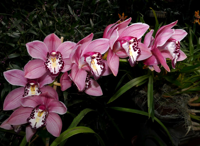 1st bloom continues, Cymbidium Exeter Glassy Star hybrid orchid