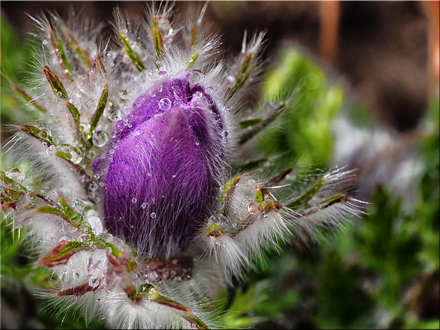 Flower of the pasque flower