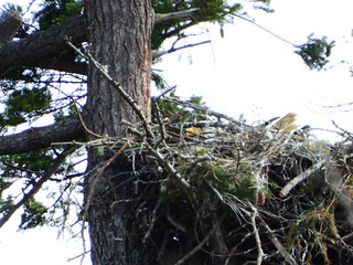 march 23 2021 13:49 - Eagle incubating on the Nest | by boonibarb