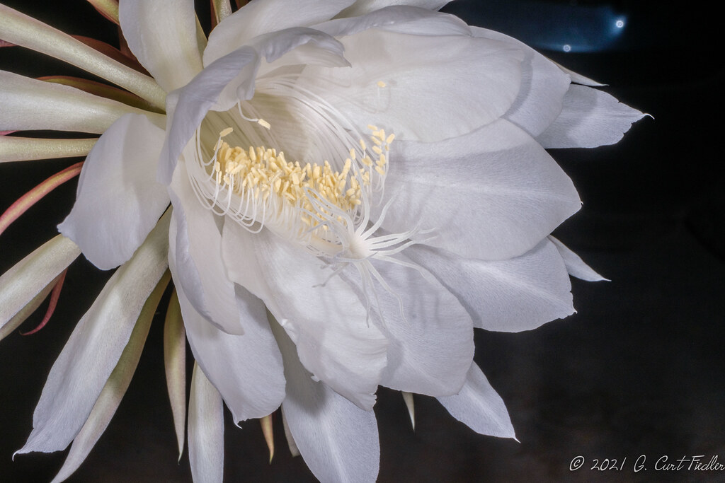 Queen of the Night Cactus IV