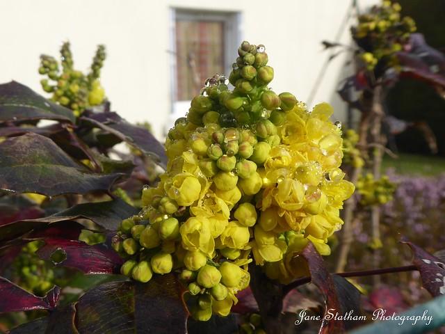 Raindrops. Golden Abundance ~ Mahonia.