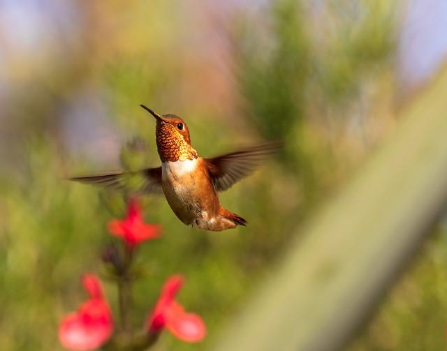Allen's Hummingbird_10