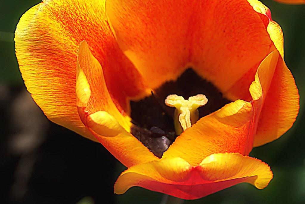 Toronto Ontario ~ Canada ~ Edwards Botanical Gardens ~  Yellow Tulip
