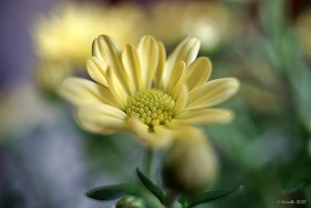 Small yellow chrysanthemum