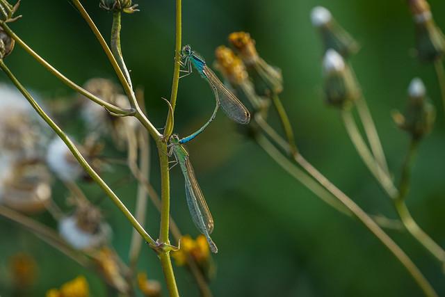 Coenagrion pulchellum