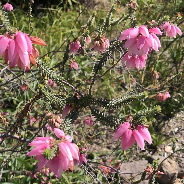 Erica bauera, Southern Africa.  Pierus.