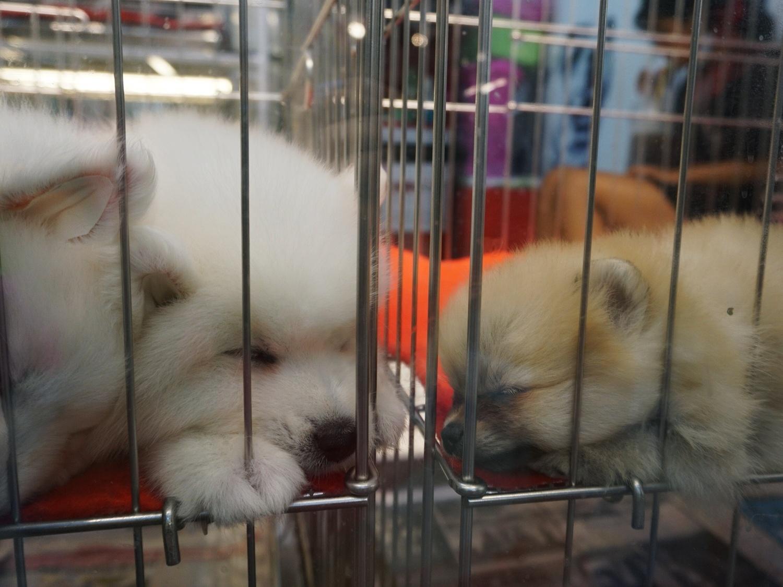 samoyed pomeranian puppy