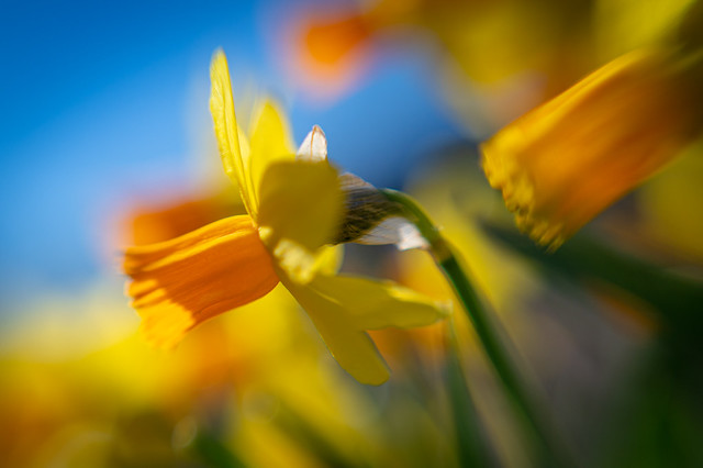 Colorful narcissus