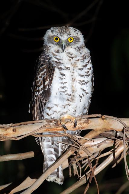 Powerful Owl - Ninox strenua