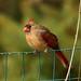 248A0354 female red cardinal