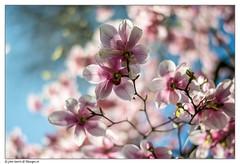 Magnolia in full bloom