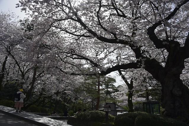 金沢桜満開!