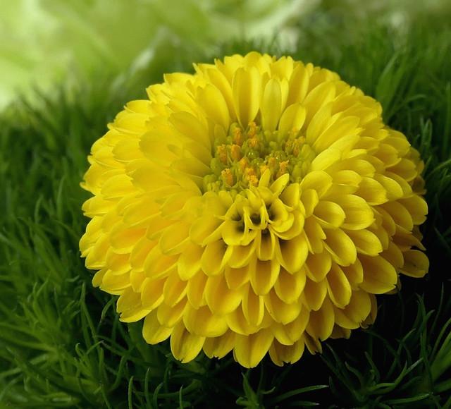Lovely Chrysanthemum