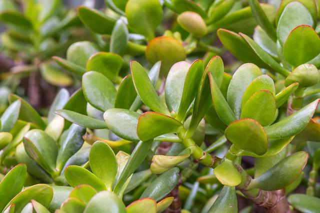 Jade plant in the garden
