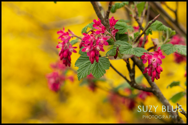 Flowering Currant with a background of Forsythia