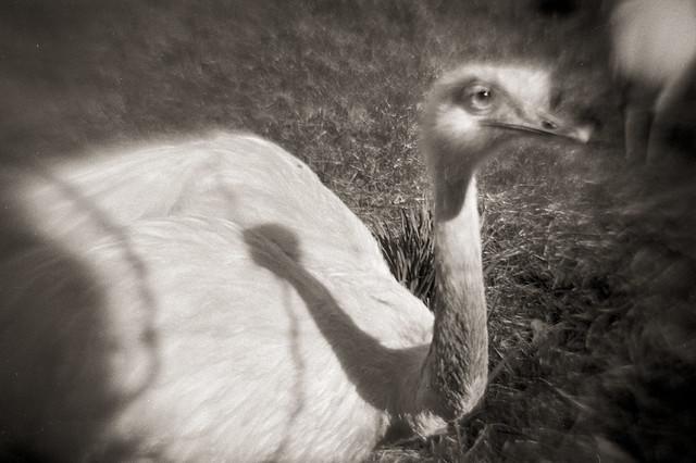 Ostrich Nº 2