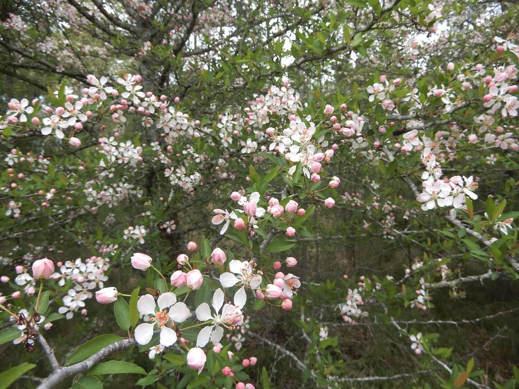 fragrant crabapple blossoms