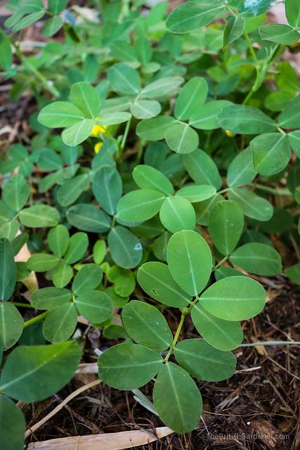 Arachis glabrata
