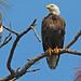 Flickr photo 'Bald Eagle (Haliaeetus leucocephalus)' by: Mary Keim.