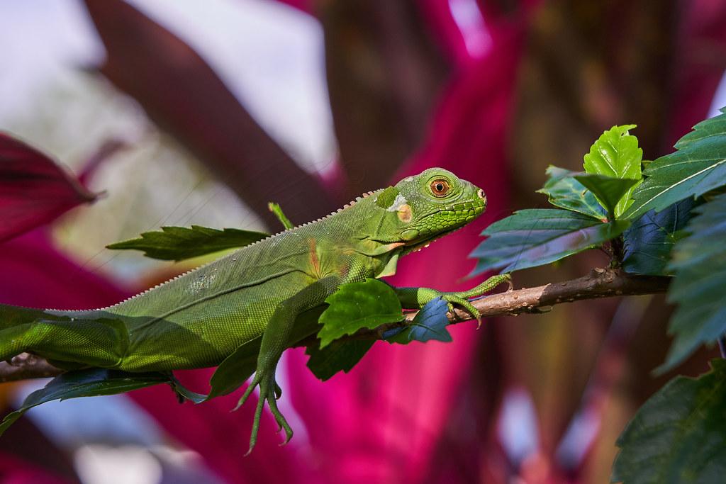 Juvenil iguane vert