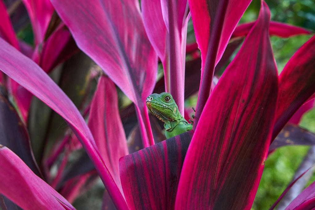 Juvenil iguana iguana