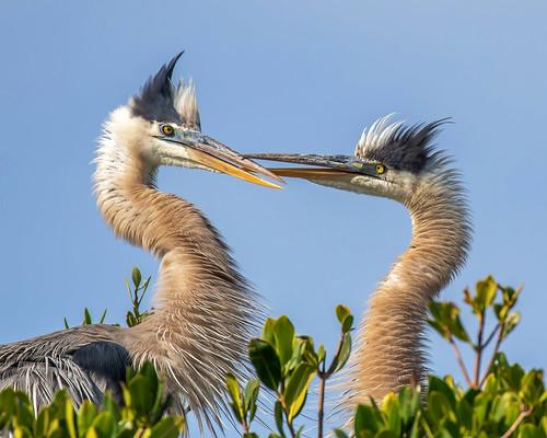 pinellas outdoor seaside dennis adair tierra verde sky nature wildlife 7dm2 7d ii ef100400mm canon florida bird beaks