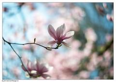 Magnolia Part II