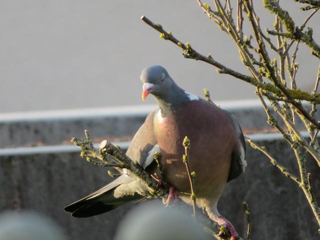 Pigeon ramier dans l'hibiscus. Wood pigeon in the hibiscus. In Explore..