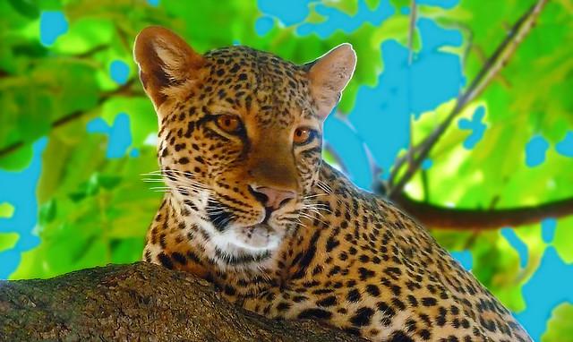 AFRICA - Zambia - Leopard