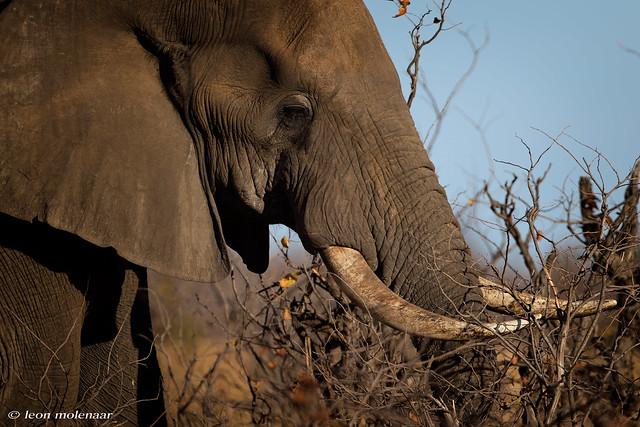 African Elephant (Explore)