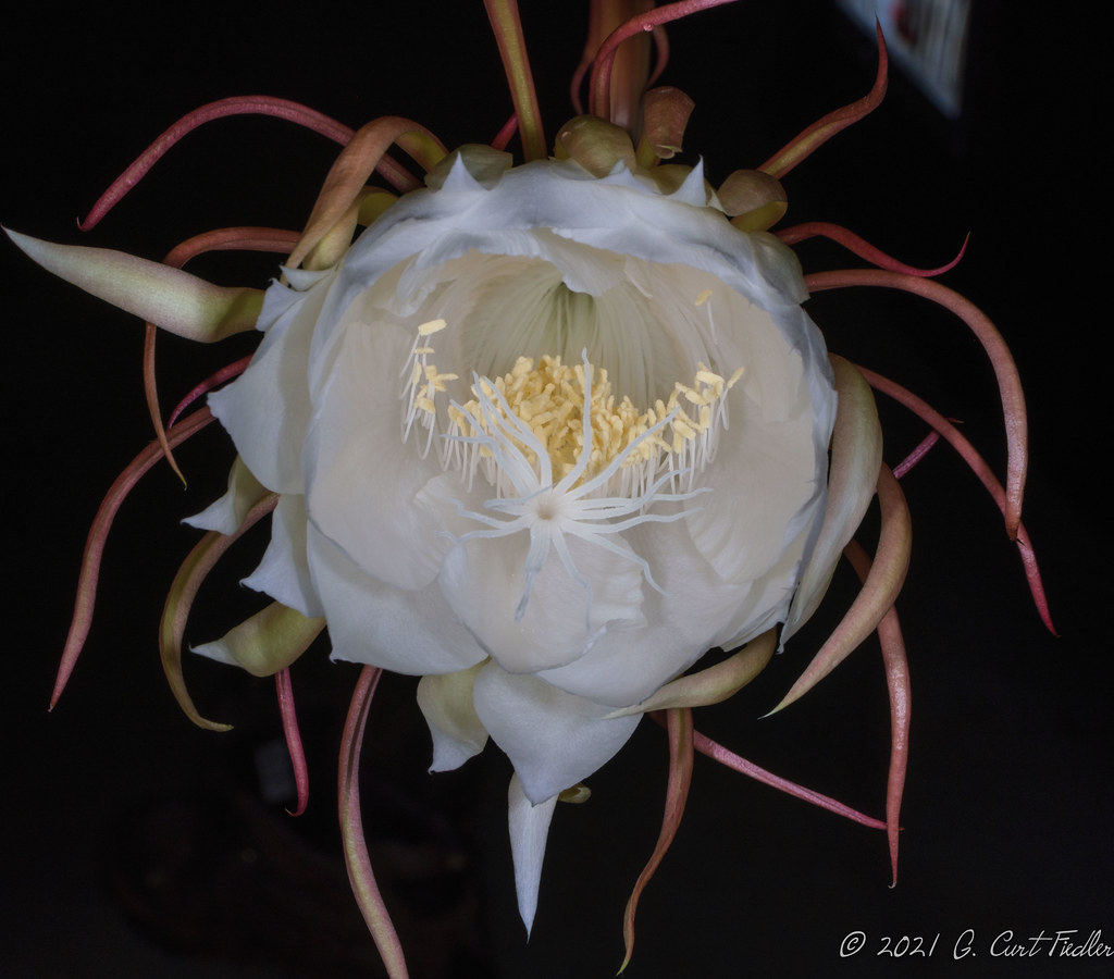 Queen of the Night Cactus I