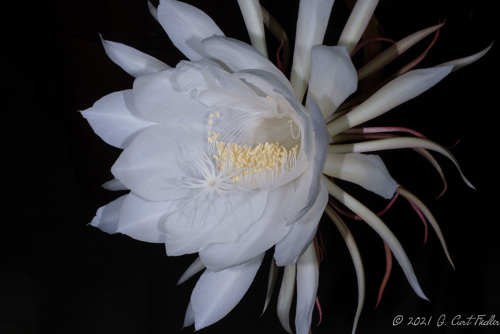 Queen of the Night Cactus III