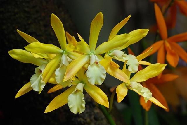 Orchid Show, New York Botanical Garden, Bronx, New York