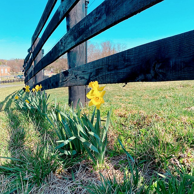 Daffodill Along the Trail