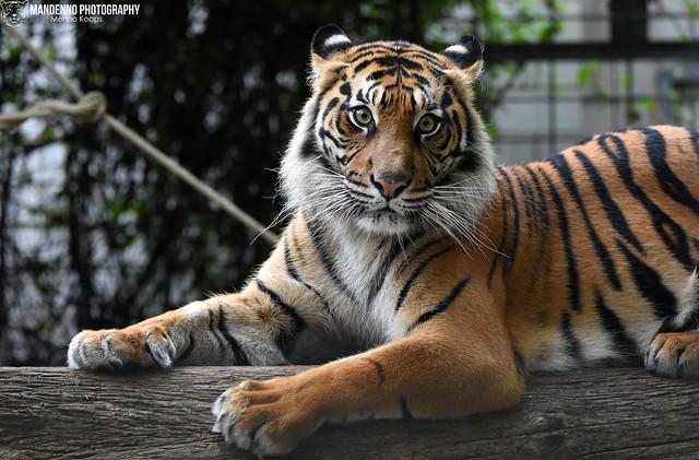 Sumatran tigress - Zoo Heidelberg