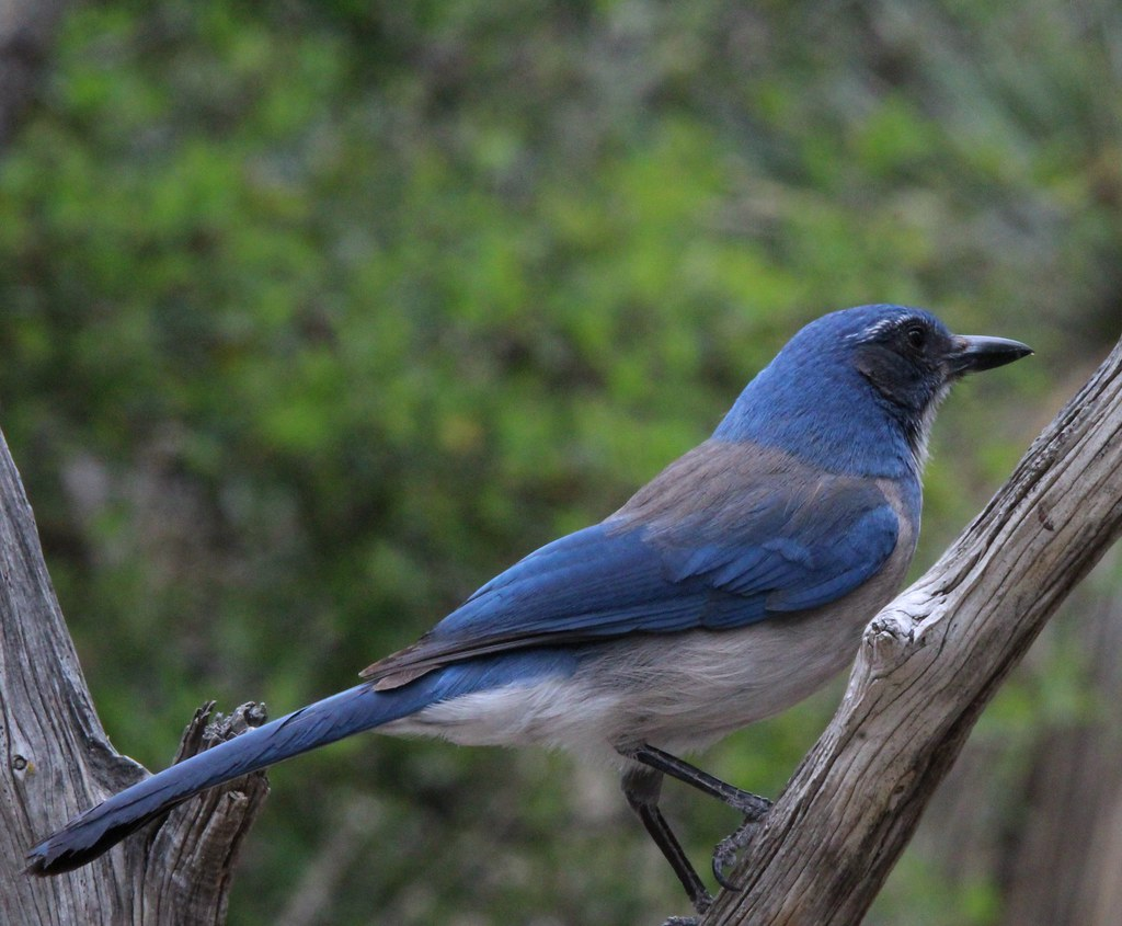 California Scrub Jay S Llano river state park 3-21