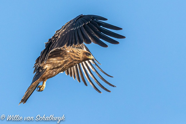 Yellow-billed kite coming in to land