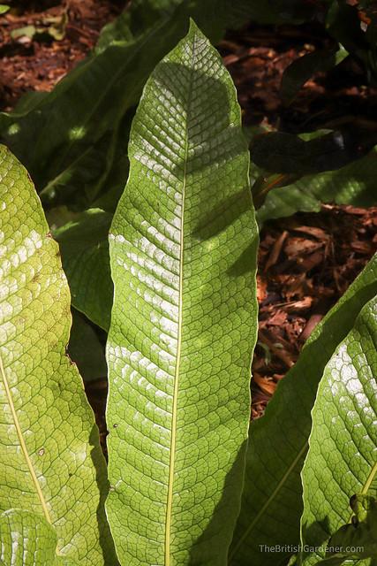 Microsorum musifolium 'Crocydyllus'