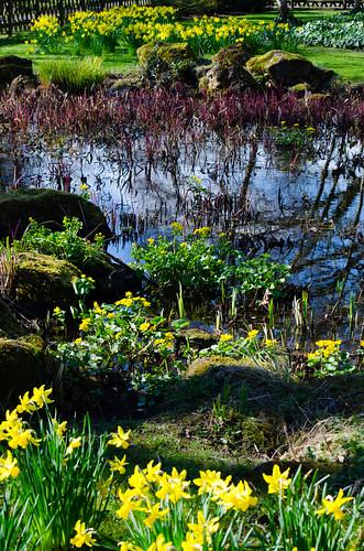Yellows: daffs, marsh marigolds, Bantock