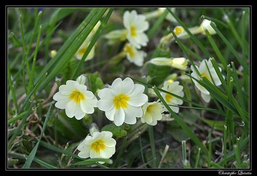 Primevère (Primula acaulis)