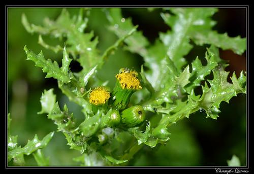 Séneçon commun (Senecio vulgaris)