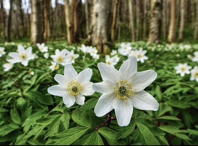 A sea of Wood Anemones (Anemone nemorosa) at a woodland in Denbighshire
