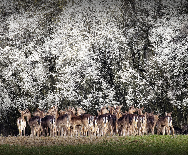 Fallow-does under blackthorn
