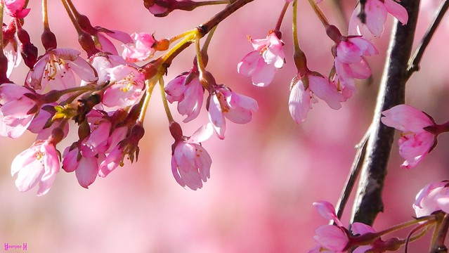 9576 - Blossoming Trees