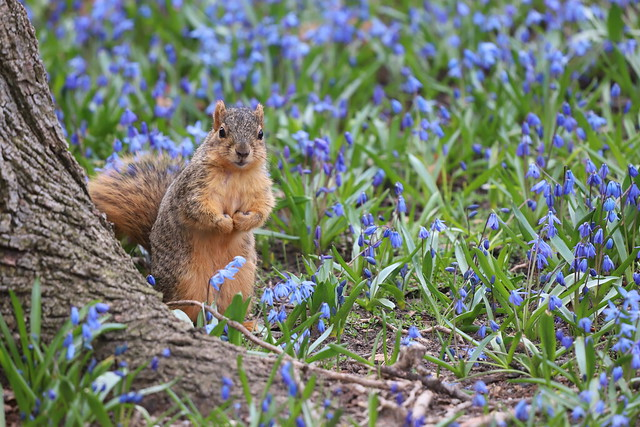 Fox Squirrels in Ann Arbor at the University of Michigan 91/2021 294/P365Year13 4677/P365all-time (April 1, 2021)