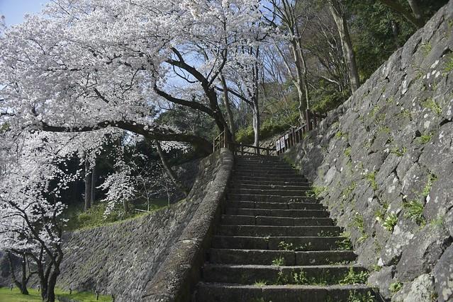 金沢桜満開! その3
