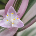 tradescantia nanouk flower