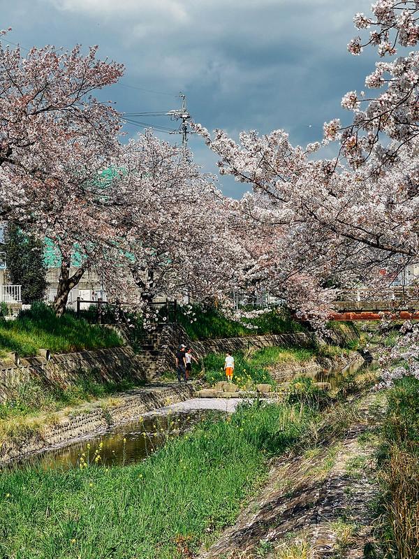 Sakura_15