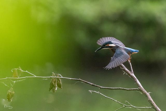 Martin-pêcheur au décollage
