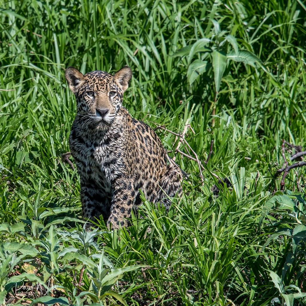 Sub adult jaguar